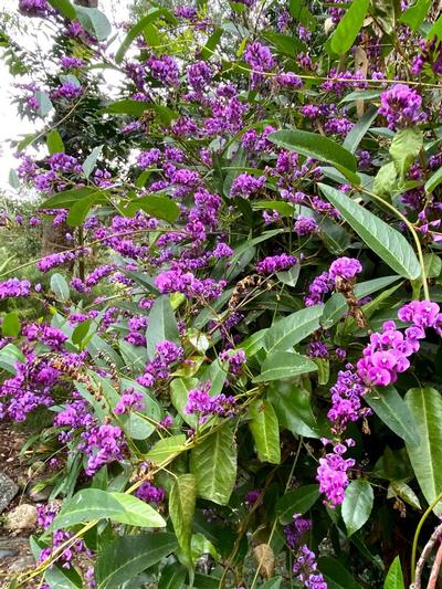 Hardenbergia - Coral Page